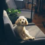 white curly dog sitting on sofa